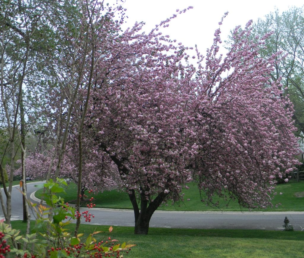 Blossom Tree1