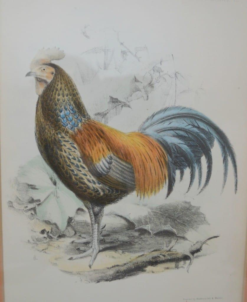 Rooster print www.thepainteddrawer.com