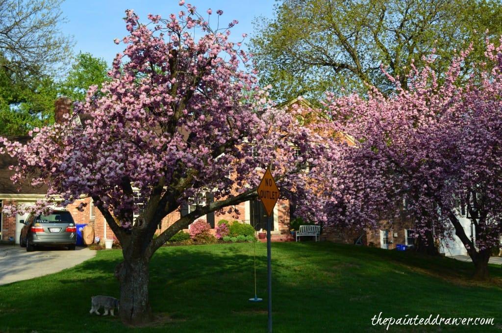 Cherry Blossoms www.thepainteddrawer.com