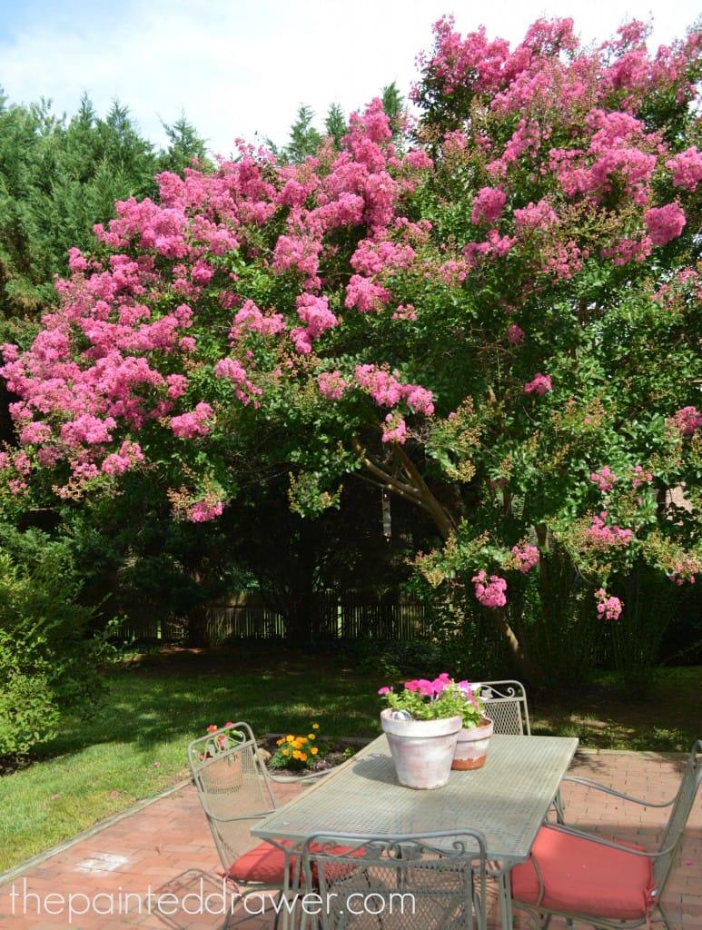 Pink Crepe Mrytles