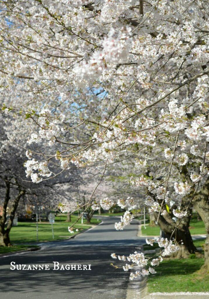 Cherry Blossom Trees 2