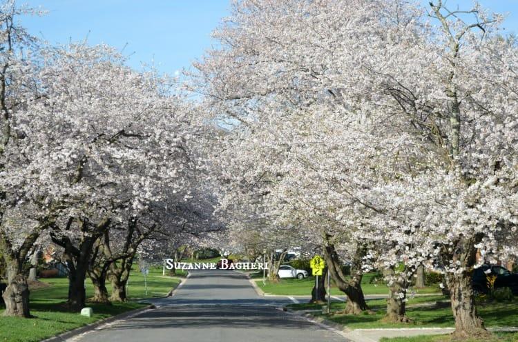 Cherry Blossom Trees 2016