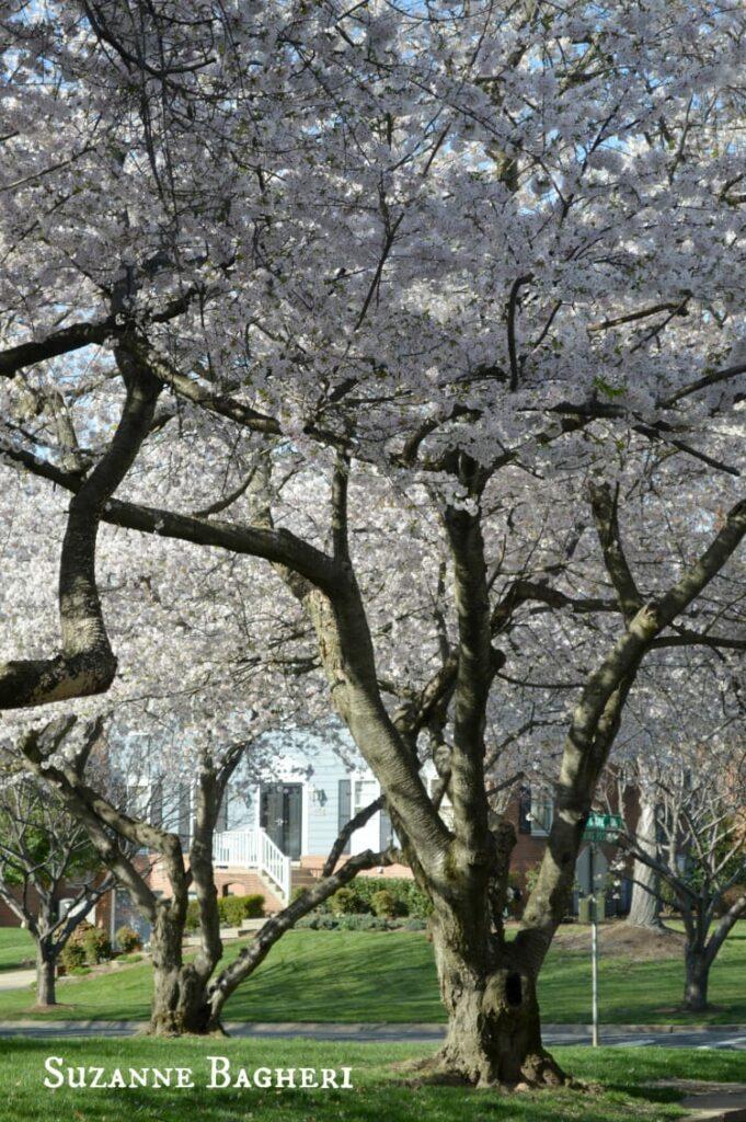 Cherry Blossom Trees 3