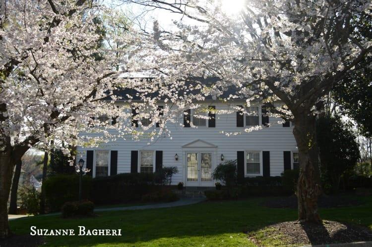 Cherry Blossom Trees 6