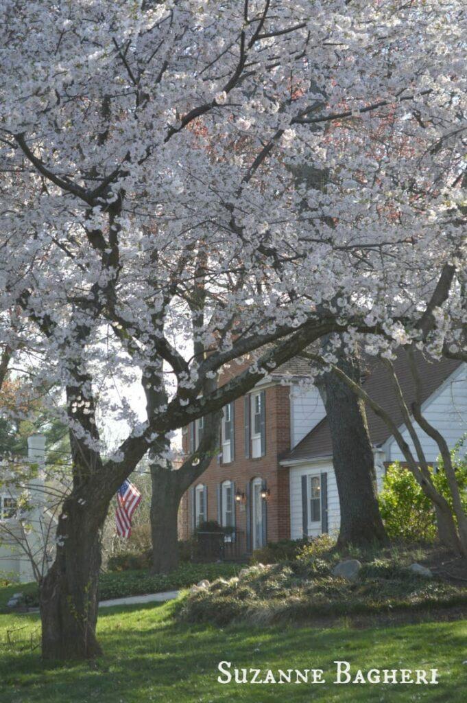 Cherry Blossom Trees 8