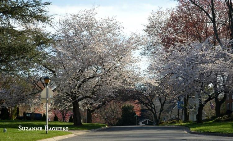 Cherry Blossom Trees 9