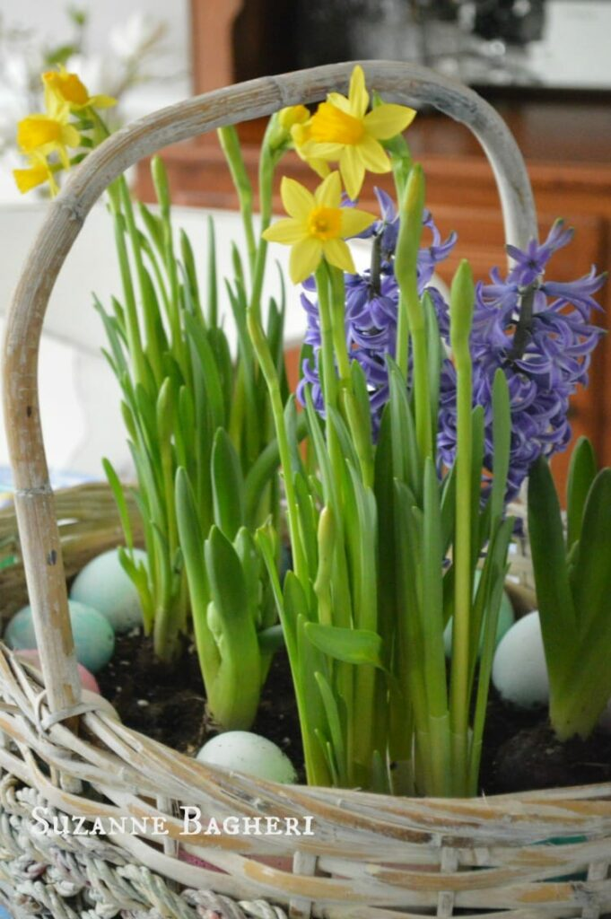 Easter Basket Bulb Garden by The Painted Drawer, Daffodils and Hyacinth