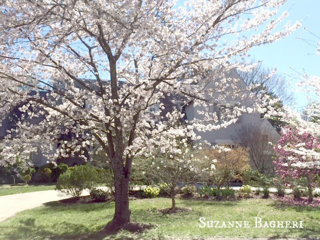 Kenwood, MD sprintime, cherry blossoms