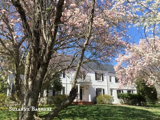 White Home in Bethesda MD, Brick Colonial, Spring Blossoms, Cherry Blossoms