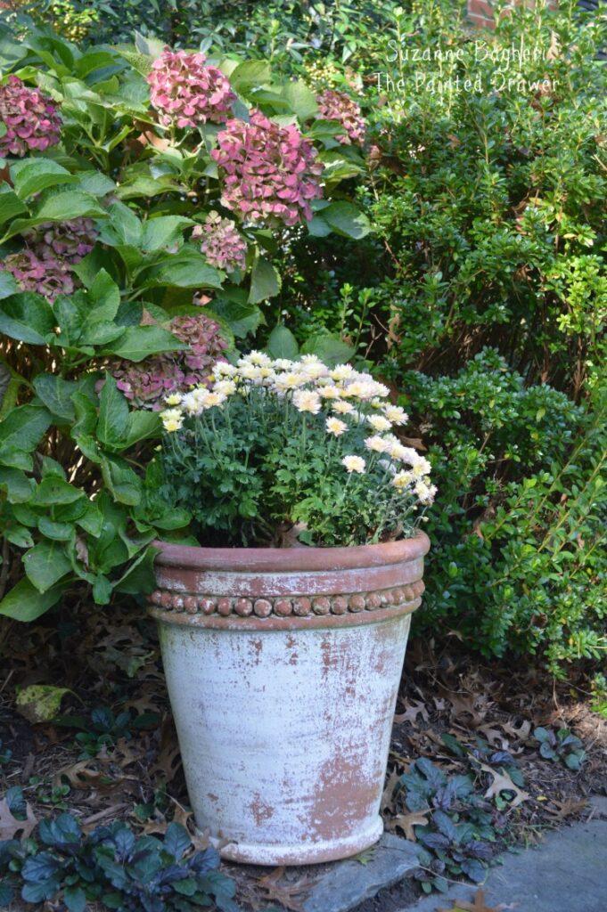 Hydrangea Fall Color