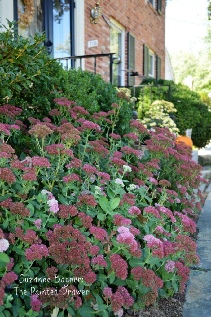 Sedum, Fall Garden Color